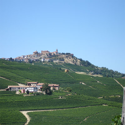 Another view, showing densely planted Nebbiolo vines.