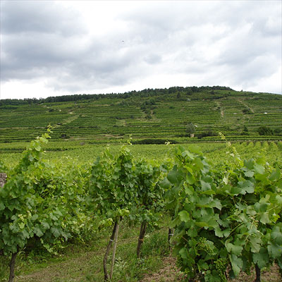 Brundlmayer's vines at the Heiligenstein in Kamptal