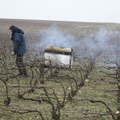 Brochet's part-time colleague is pruning the vines