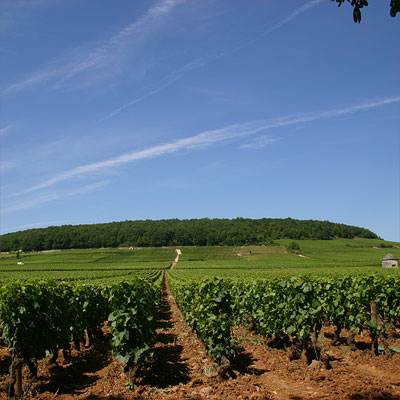 Savigny 1er cru Les Lavires