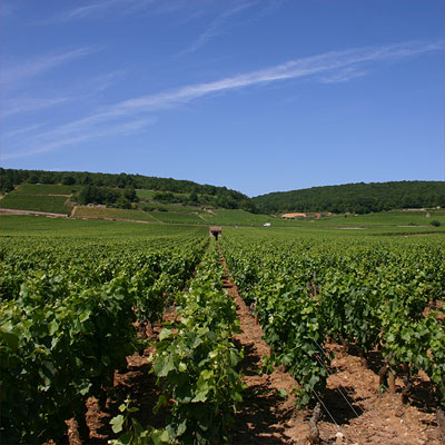 Savigny 1er cru Les Serpentires