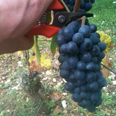 Picking grapes in Morey St Denis